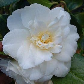 Camellia 'Golden Tone' - Find Azleas,Camellias,Hydrangea and Rhododendrons at Loder Plants